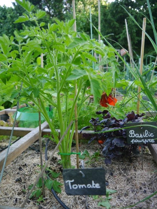 Plants de tomate et basilic