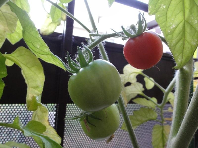 Tomates-cerises sur balcon