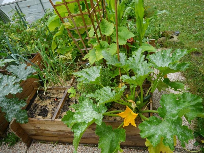 Plant de courgette dans son carré