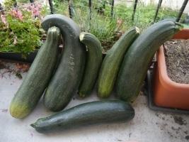 Récolte-de-six-courgettes