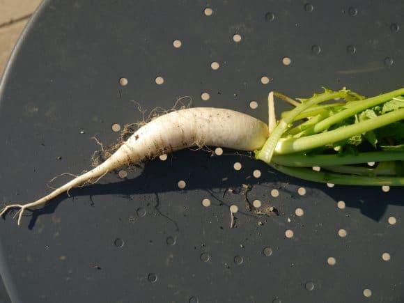 Un navet blanc