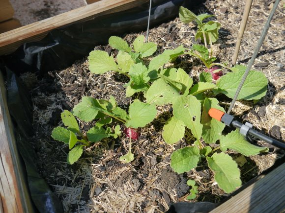 Des radis dans leur carré
