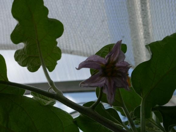 Fleur d'aubergine