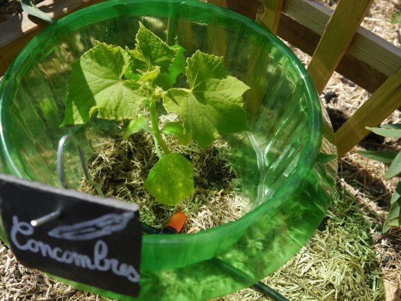 Jeune plant de concombre