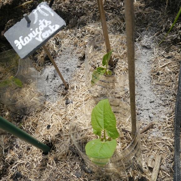 Jeunes plants d'haricots nains