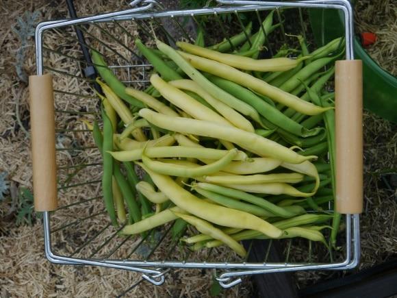 Récolte d'haricots nains verts et beurre