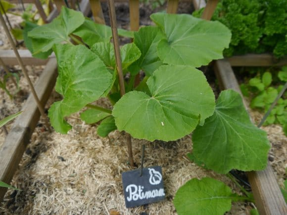 Plant de potiron dans son carré