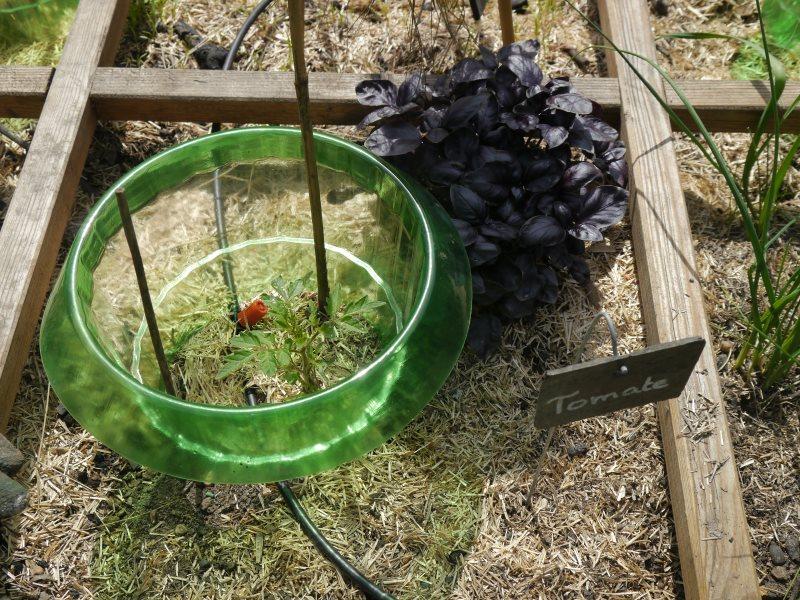 Basilic pourpre avec un jeune plant de tomate