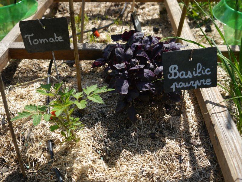 Jeunes plants de tomate de de basilic pourpre
