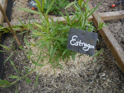 Jeune plant d'estragon