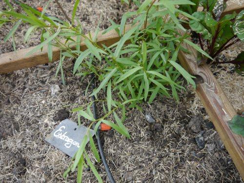 Plant d'estragon