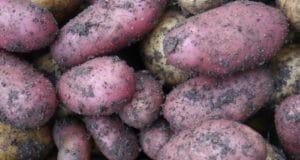 Pommes de terre violettes